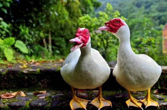 养殖香鹑雁赚钱